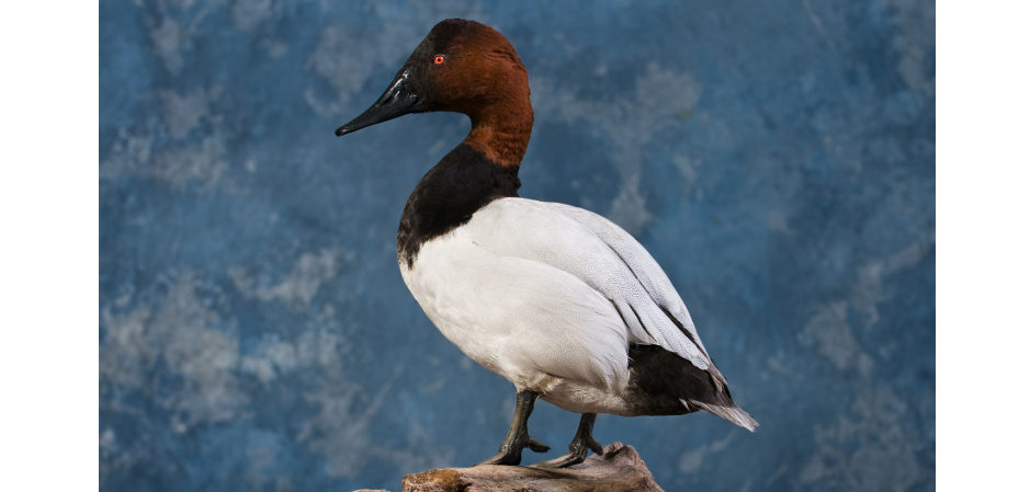 Canvasback standing taxidermny mount