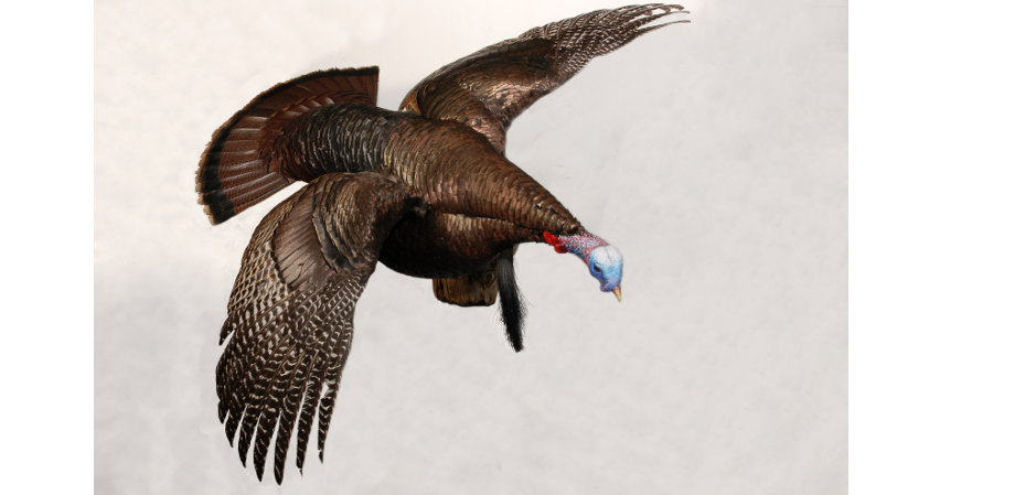 wild turkey in flight taxidermy mount